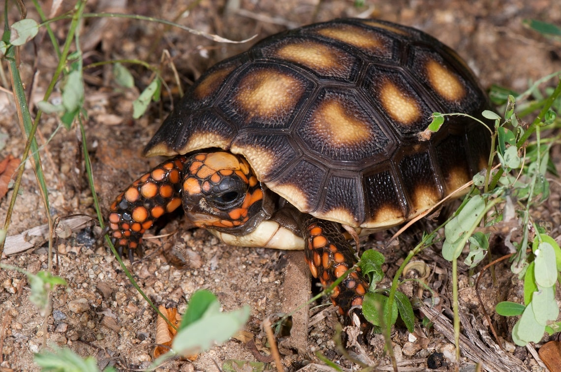 Jenis Kura – Kura Red Footed Tortoise