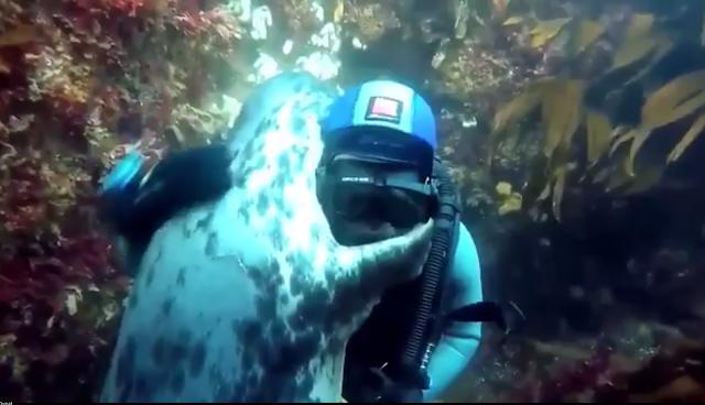 Su altında karşılaştığı dalgıca sarılan deniz aslanı