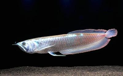 Ikan Arwana Silver