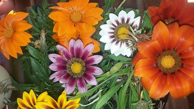 نبتة زهرة الجزانيا