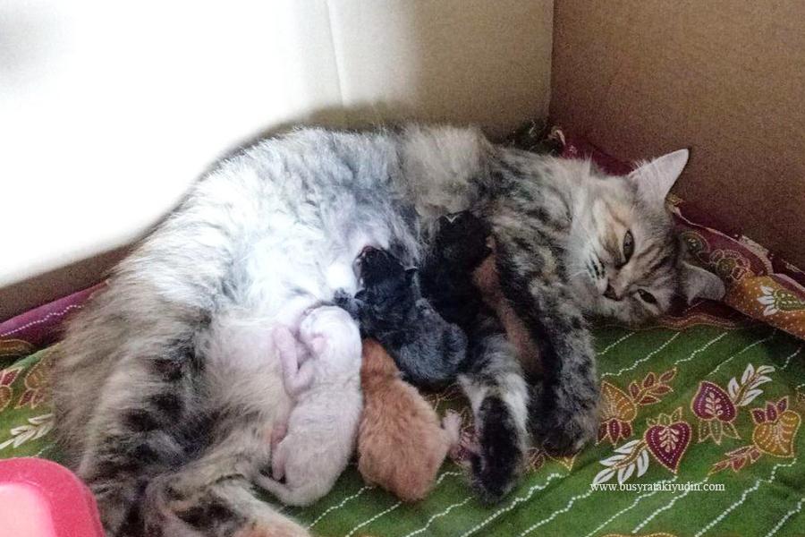 cara kucing beranak, kucing melahirkan, kucing sakit ketika melahirkan,