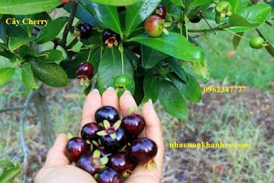 Đăng tin rao vặt: Công dụng và thành phần dinh dưỡng trong quả Cherry Cay-cherry-nha-vuon-khanh-vo-5