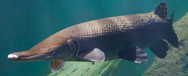 7 Daftar Ikan Terbesar Di Dunia, Yuk di simak!