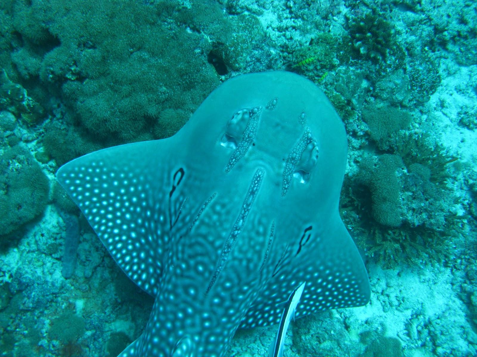 Roberto piazza immersioni nel mondo rhina ancylostoma for Pesce rosso razza