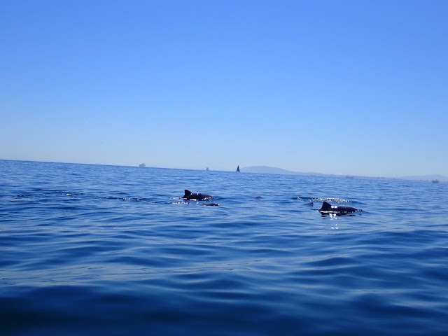 Dolphins spotted from Kayak in Cape Town