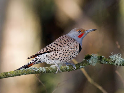 Photo of a Northern Flicker on a branch