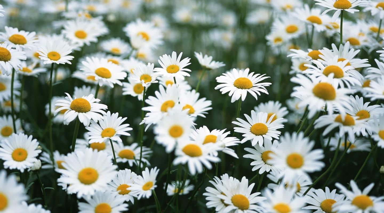 Daisy (Asteraceae sp.) bunga cantik lambang cinta di gunug prau