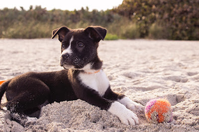 A brown and white puppy is lying in sand with a tennis ball at its feet