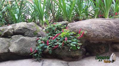 Detalhe do canteiro de flores na mureta de pedra com o rabo de gato e as mudas de agapanto.