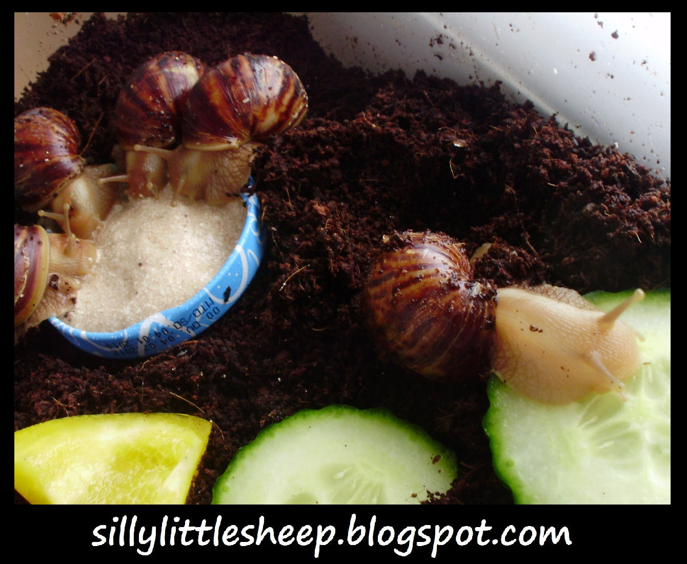 How Long Can Snails Survive Without Food