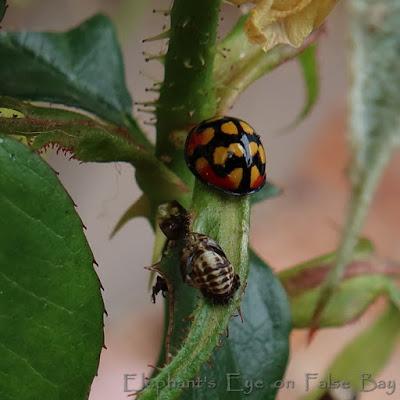 Cheilomenes sulphurea ladybird