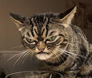 Conheça o novo gato rabugento chamado Kitzia