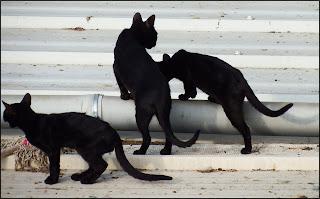 ¿Por qué algunos refugios no permiten adoptar gatos negros en la época de Halloween?