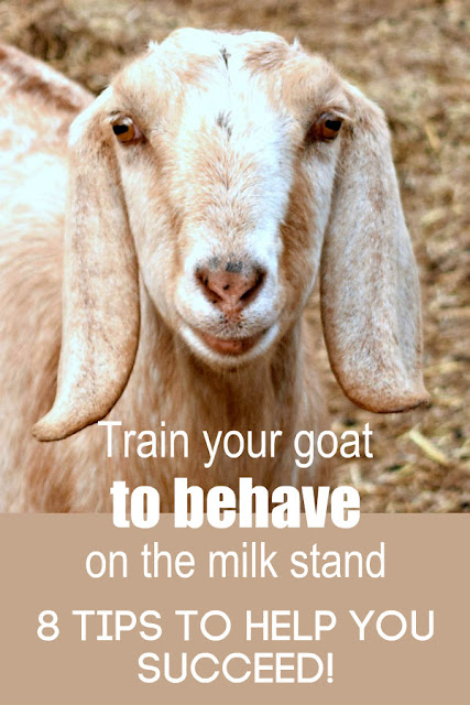 If your goat won't behave on the milk stand, you NEED these 8 tips! You can do it, here's how! #homestead #milkagoat