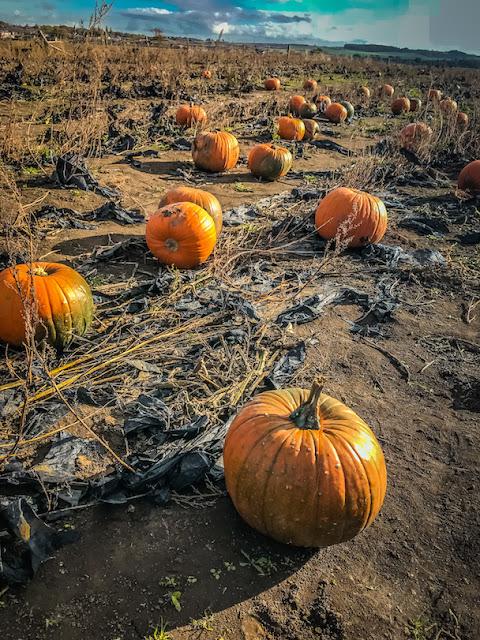 Pumpkin picking at Farmer Copleys - pumpkins in the field