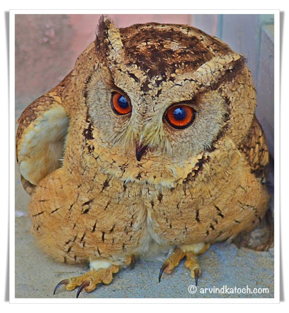Indian Scops Owl (Otus bakkamoena)
