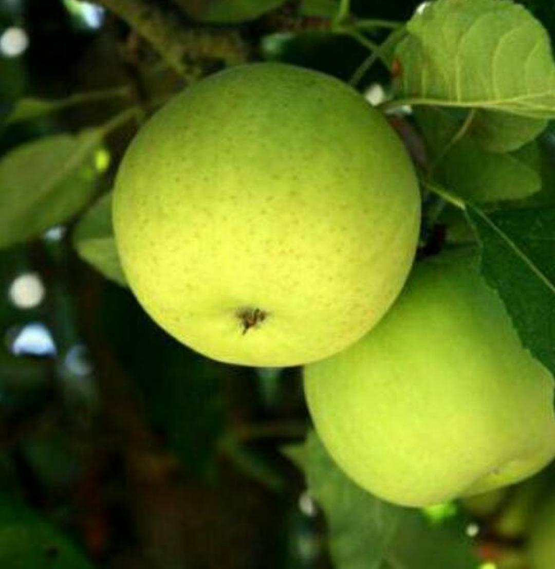 Stok melimpah! Bibit Tanaman Buah Apel Manalagi 60 Cm Kota Bogor #bibit buah genjah