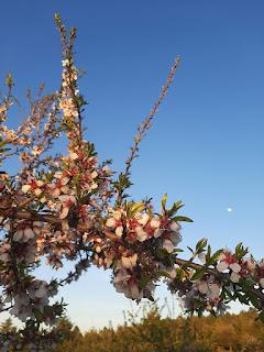 galho de amendoeiras em flor e lua ao fundo