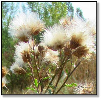 weiße Puschelblume
