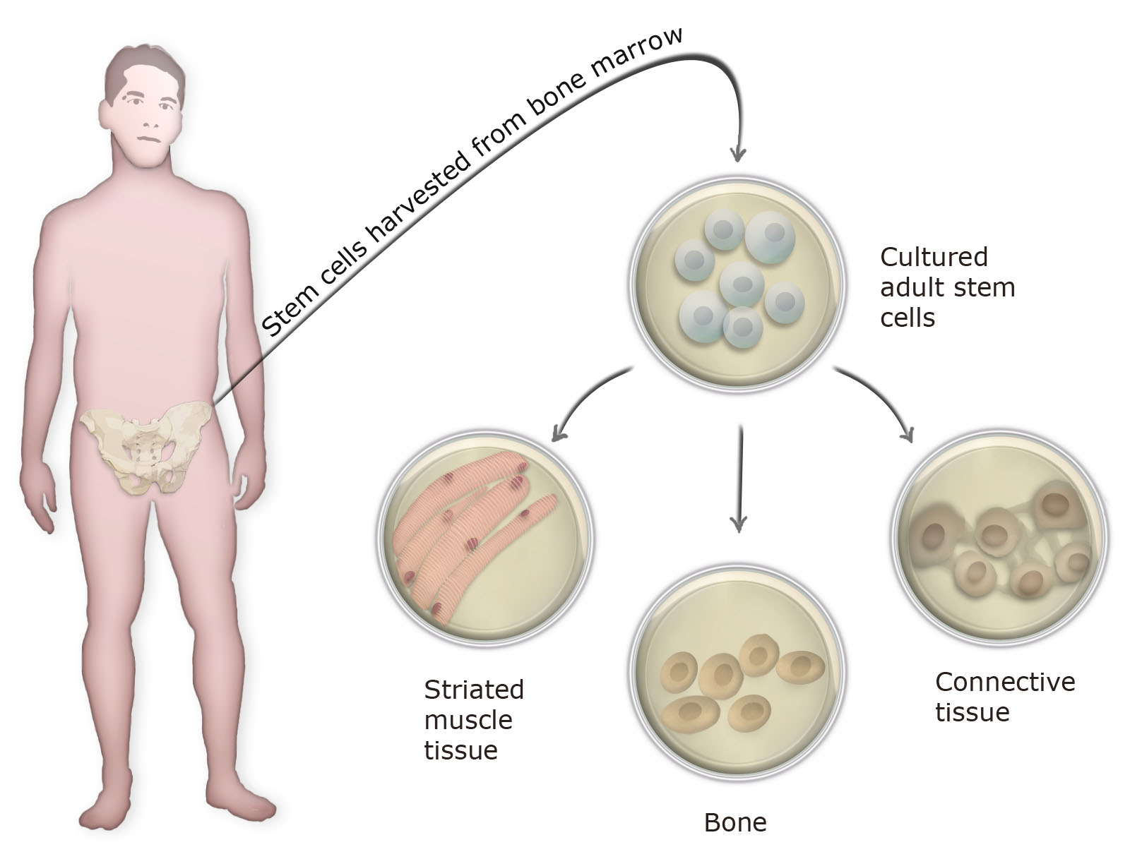 What Is An Adult Stem Cell 73