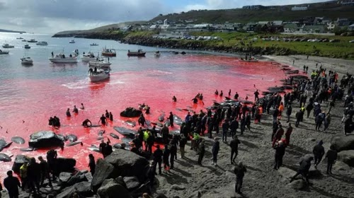 The custom of hunting bloody whales on an island in the middle of the Atlantic Ocean