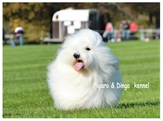 Coton de Tulear  Figaro & Dingo kennel
