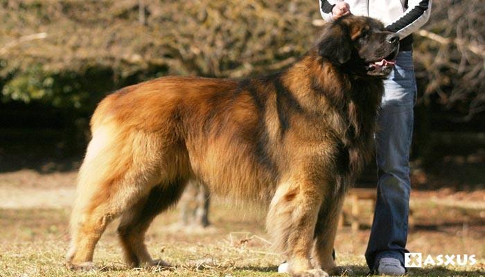 10 Jenis Anjing Terbesar di Dunia Saat Ini