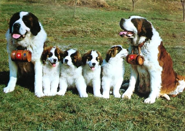 Postcard from Switzerland | St. Bernard family (Dogs)