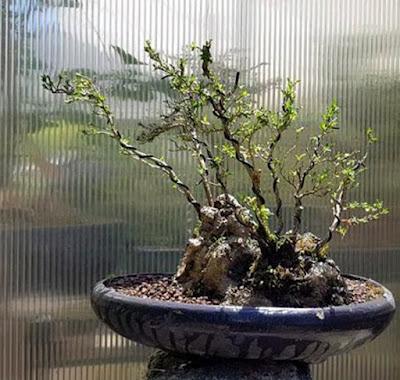 El granizo siembra el pánico en el bonsai.