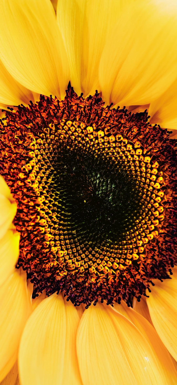 خلفية زهرة الشمس الصفراء الجميلة