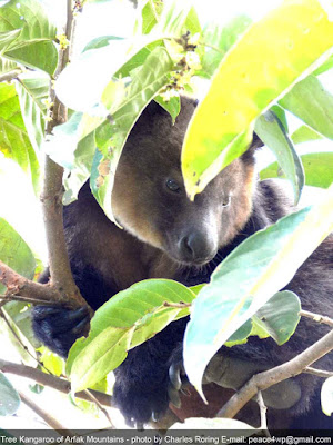 Watching Tree Kangaroo in Arfak Mountains