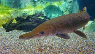 Gambar Ikan Buaya Spatula
