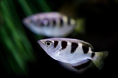 Gambar Ikan Sumpit