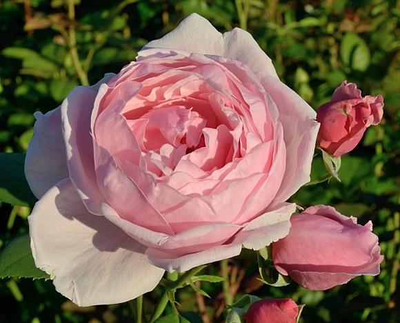 Brother Cadfael сорт розы фото