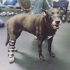 cães em tratamento fisioterapia muscular