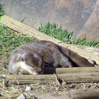 Photos and Facts about the Asian Small-clawed Otters