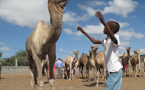 Somalia camels raised for food, milk, and function and fashion