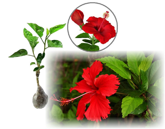 The Hibiscus plant is native to the tropics in the plains of Asia. This plant is then spread in various countries, from the Far East to Europe.  Hibiscus flowers are shrubs with a height ranging from 4 m - 8 m. Stems have a hard structure, many branches. The roots are deep and strong enough so that the stems grow upright and sturdy. The leaves are single leaves, oval or heart-shaped with jagged edges, tapered leaf tips, leaf veins and pinnate, have leaves.  Green leaves, 5-10 cm long and 3-7.5 cm wide. Single-flowered hibiscus that comes out of the axillary leaves, flower stalks 1-4 cm long, and droops with five crowns arranged in a trumpet or bell shape. Single or double strands of flower petals, flower colors vary, for example, white, yellow, pink, orange and a combination of these colors. Flowering lasts throughout the year.  Flowers only last 1-2 days. Flowers are composed of 5 calyx, 5 petals, 15 juice stalks and 1 ovule which has a lot of space. From the pollination process, fruit that contains lots of seeds is produced. Hibiscus seeds are small, brown to black and hairy.