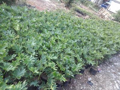 banyak jenis tumbuhan phillodendrum spesies Daftar Harga tumbuhan phillodendrum jari