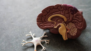 model of severed brain laying next to model of nerves