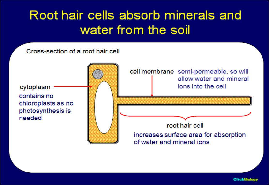 plant root hair diagram cell with definitions sophia 39s bio ejournal cellular homeostasis