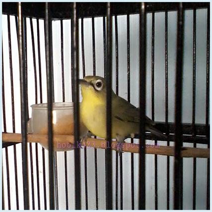 Cara Ternak Burung Pleci Di Rumah Hobiku23