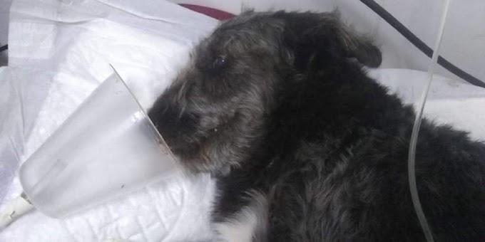 Cachorro salva menina de 12 anos ao lutar com cobra e acaba internado