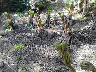 Gunnera, at Abbotsbury Subtropical gardens