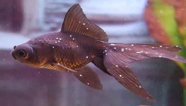 Cara Mengatasi Penyakit Bintik Putih Pada Ikan Hias