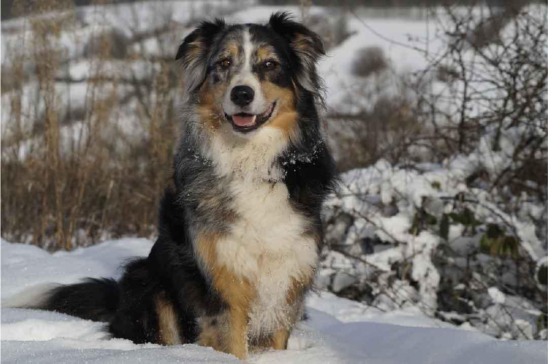 Labrador Retriever, le chien berger australien, race de chien, animal de compagnie, chien de compagnie, races de chiens, chiot, aussies, berger américain miniature, chien de chasse
