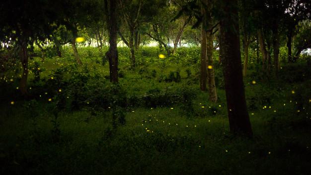 Bagaimana kunang-kunang menghasilkan cahaya