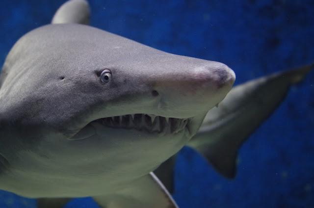 Shark animal