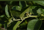 अश्वगंधा पौधा