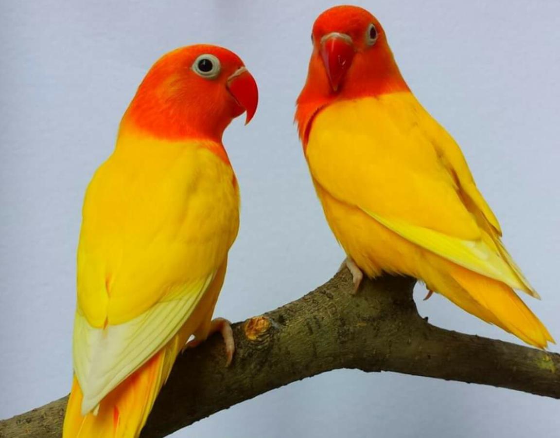 Do Lovebirds Die When Separated